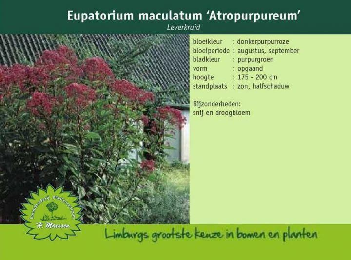 Leverkruid - Eupatorium maculatum 'Atropurpureum'