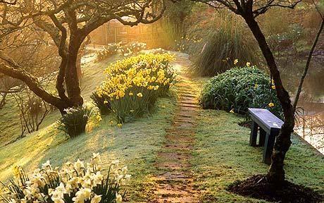 Naturalized daffodils (Narcissus) in a garden in Devon