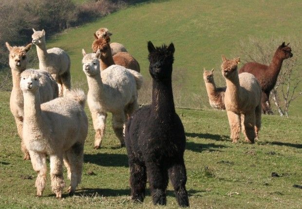 Alpacas are so cute and they give us such luscious yarn to play with!  THANK YOU ALPACAS!