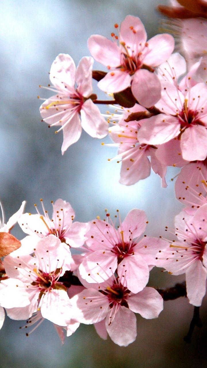 Tree Branch Cherry Tree Blossom Flowers Spring 720x1280 Wallpaper Tree Branch Tattoo Sakura Tree Blossom Trees