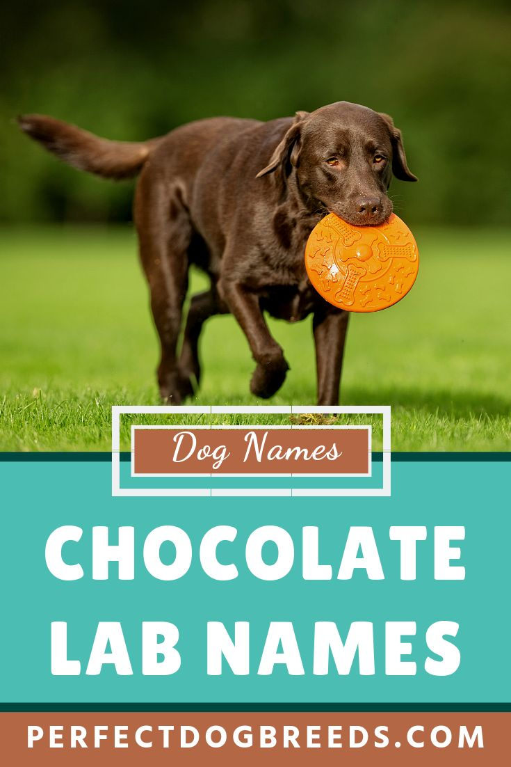 Did you know that Labradors are one of America's most