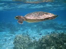 Cape Verde turtles