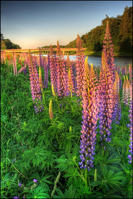 ✯ Lupins Beautiful in the wild and charming in the garden!