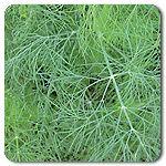 Organic Greensleeves Dill