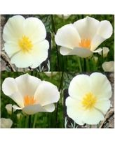 108bb36e3a15e0404cb095ec28e4092b - 600 x WHITE LINEN CALIFORNIA POPPY Flower Seed ~ …