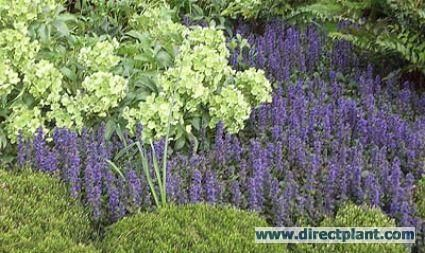Zenegroen.      Lage, breed uitgroeiende, groenblijvende vaste plant die op een vochtige, licht beschutte plaats de bodem effectief bedekt. Eind lente en begin zomer krijgt hij mooie blauwe bloemen. Bloem Van laat in de lente tot begin zomer korte, blauwe bloemaren. Sommige cultivars hebben aantrekkelijk blad. 'Burgundy glow' heeft crèmegroen blad met rode, 'Atropurpurea' donkerpaarse bladeren. - See more at: http://de-tuin.com/bodembedekkers-top-tien/#sthash.GNDgbF2s.dpuf