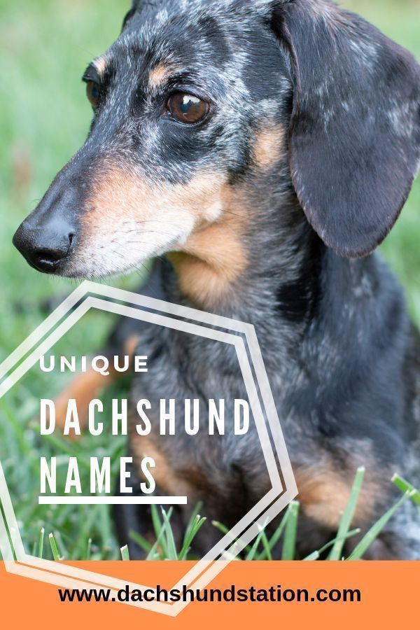 Dachshund Dog Names Dog Names Puppy Names Cute Puppy Names