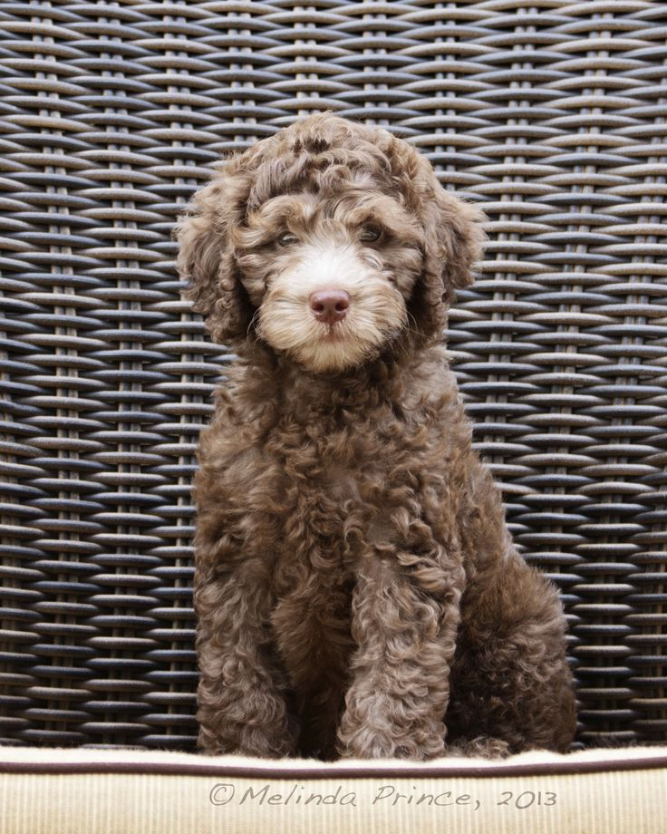 #Australian chocolate Labradoodle, #puppy, #pet portrait, #brown, #10 week old puppy, copyright M.Prince, 2013