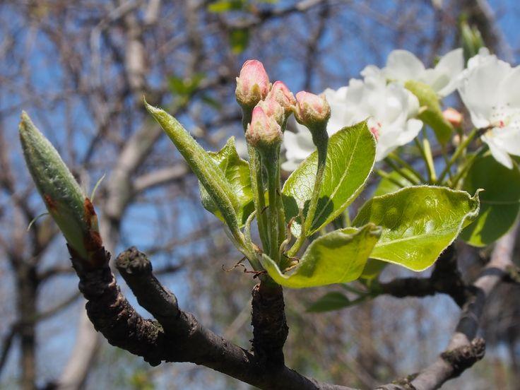 Bahar dalı elma çiçeği