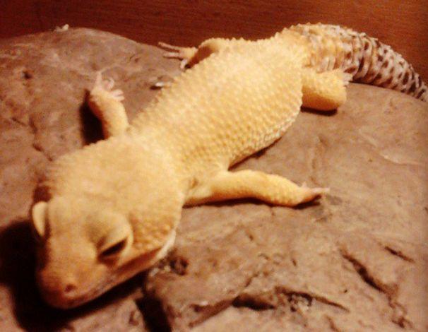 leopard gecko lazy