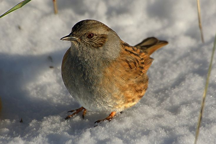 Listen to Dunnock on british-birdsongs.uk, which is a comprehensive collection of English bird songs and bird calls.