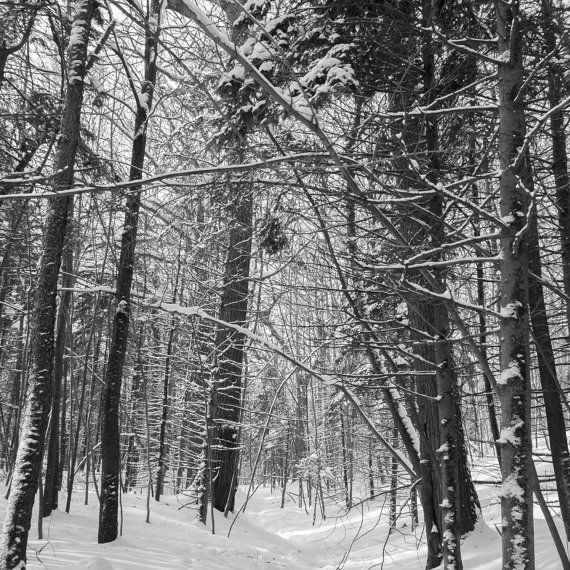 Color or black and white print of a snow covered forest, taken in Montreal, Quebec. Fine art print, Wall art print. TITLE: Winter wonderland
