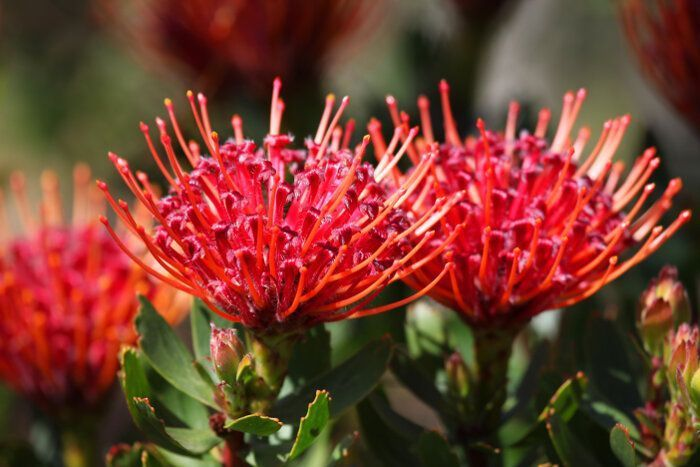 Protea Flower Meaning Flower Meaning Flower Meaning Protea Flower Meaning Meaningflower Protea In 2020 Protea Flower Flower Meanings Protea