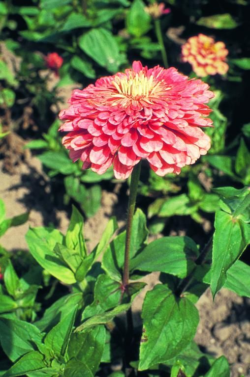 Zinnia elegans, Benary's Giant Series, 'Benary's Giant Salmon Rose' Seeds £2.95 from Chiltern Seeds