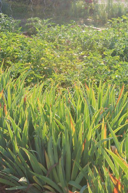 Summer potager: iris foliage, tomato and potato beds