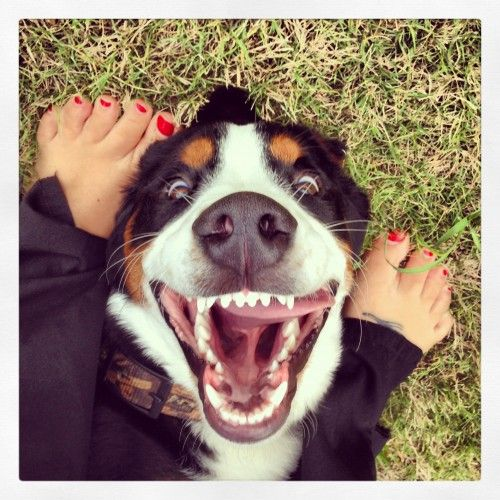 Boomer the Greater Swiss Mountain Dog - Funny Pictures of Puppy Dogs Upside Down