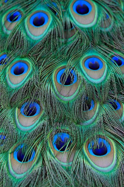 The magical iridescent blues & greens of peacock feathers