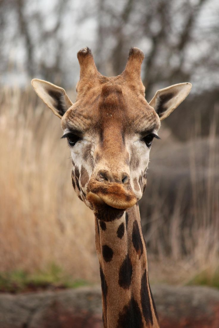 Rothschild's giraffe by Josine Frankhuizen on 500px,Rothschild's giraffe (Giraffa camelopardalis rothschildi), GaiaZOO, Kerkrade, Netherlands