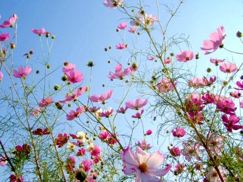Cosmos-Flowers Gardens, Flower Gardens