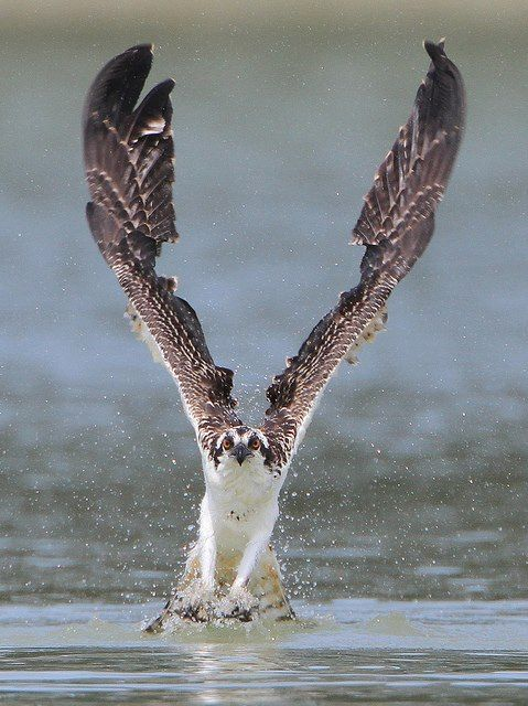 Osprey!! by Nigel Winnu Great pics here: http://www.pinterest.com/windycityparrot/birds-of-prey-hawks-falcons-owls-eagles-vultures
