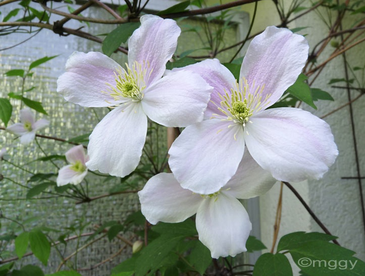 best 20 clematis montana rubens ideas on pinterest clematis montana fast growing vines and. Black Bedroom Furniture Sets. Home Design Ideas