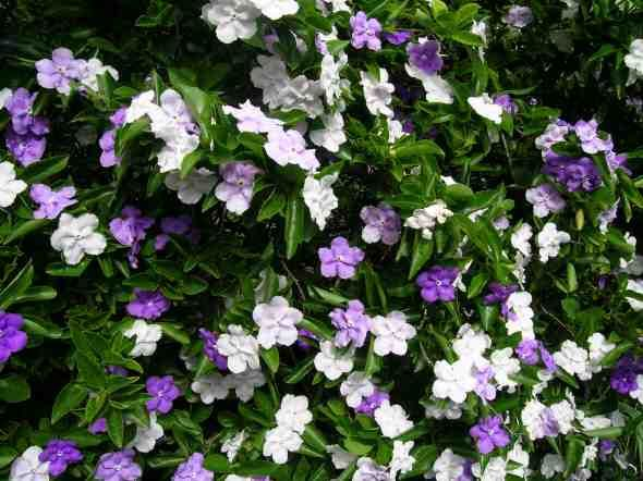 Brunfelsia latifolia