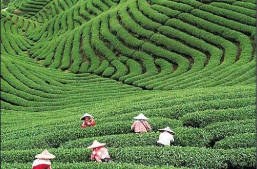 "Tea field, Long jing, China famous for its ""Dragon Well"" tea."