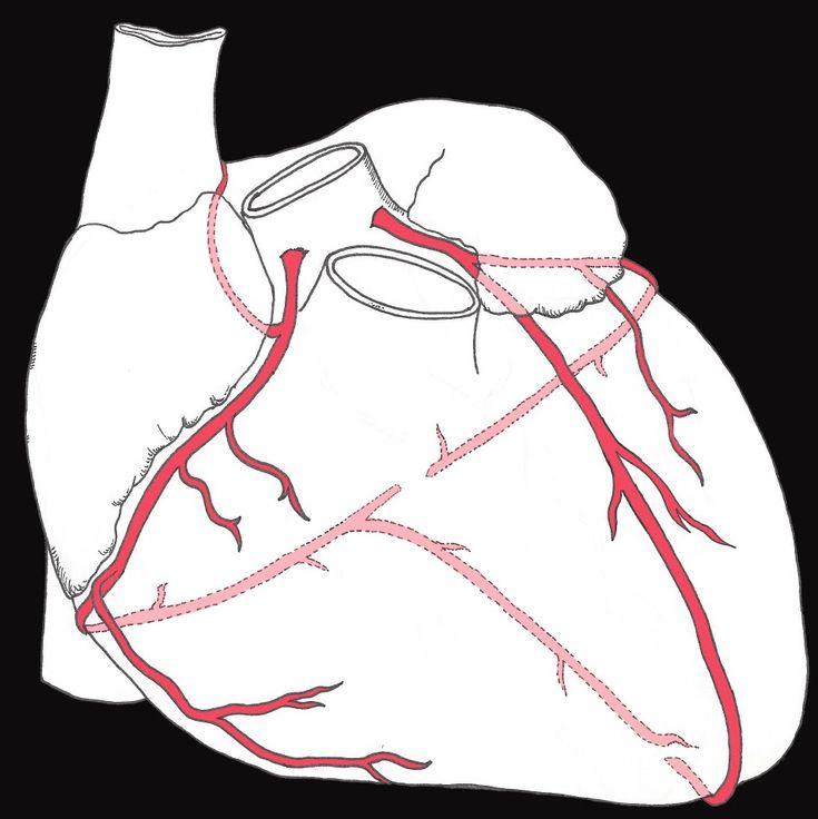 Coronary circulation of the heart                              …