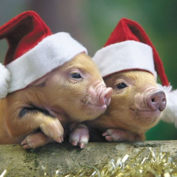 two adorable piglets wearing Santa's hats