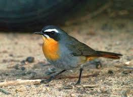 Cape robin-chat - Google Search