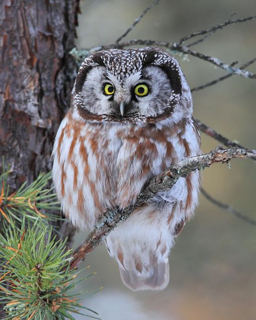 Boreal Owl,  ©Doug Dance - http://500px.com/photo/6244281  exquisite little aerial master of the woods ~ swift, silent