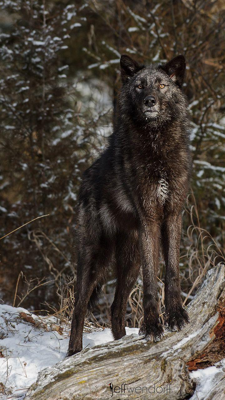 ☀Tundra Wolf, Canis lupus tundarum