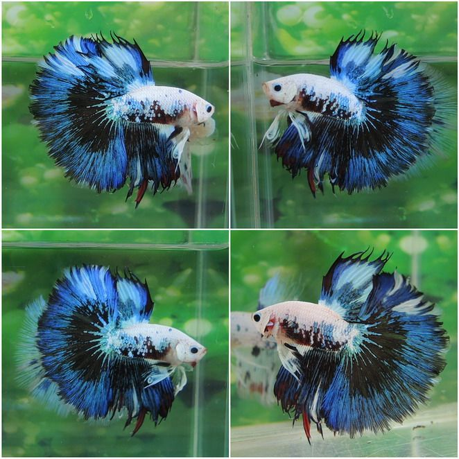 377 best images about bettas on pinterest copper for Betta fish friends