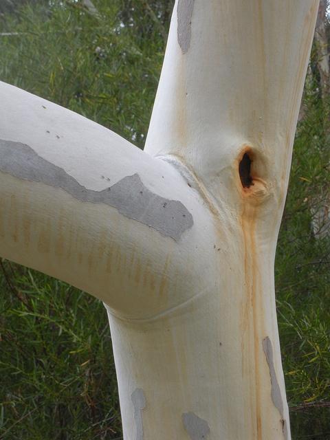 trunk of eucalyptus camaldulensis - red river gum by sftrajan, via Flickr