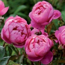 Anglická růže - Royal Jubilee