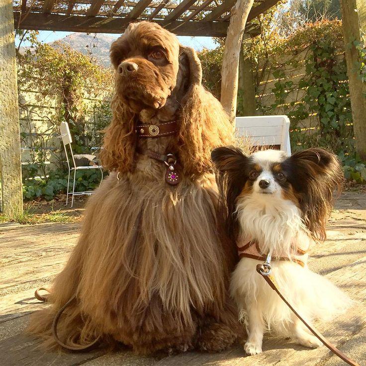 """""""ぼく今日はキリッとしてみたよ #instadog #doglife #dogs #ilovemydog #ilovemycocker #cockerlove #cocker #cockersofinstagram #papillon #コッカー #アメリカンコッカースパニエル #アメコカ #モフモフ部…"""""""