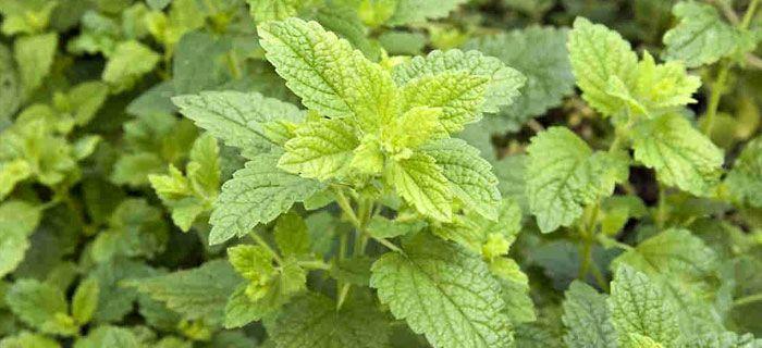 LA MELISSA: è un erba aromatica dalle numerose proprietà terapeutiche. In particolare può essere molto utile per alleviare gli stati d'ansia, di nervosismo e come rimedio per l'insonnia.