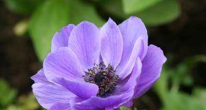 Anemona – njega i sadnja