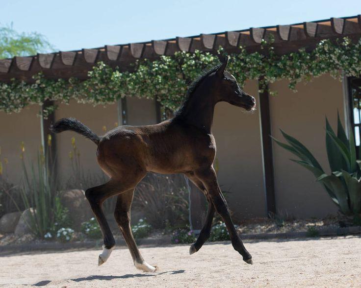 Scottsdale Arabian Horse Show News for Friday, February 19, 2016 :: Arabian Horse Association of Arizona