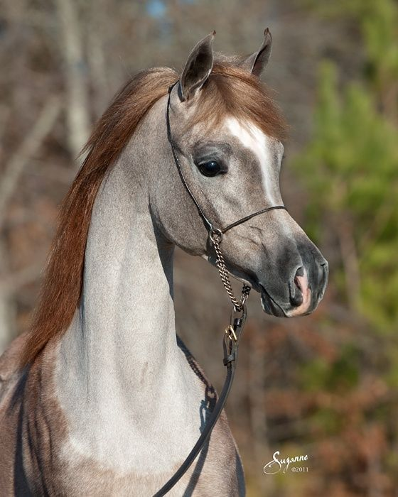 What an absolute beauty, notice under the neck, how the red roan coat sheds out to gray, as they mature, they become lighter and lighter. They often keep the reddish mane and tail, a delightful contrast. This coat combination is unique to the Arab.
