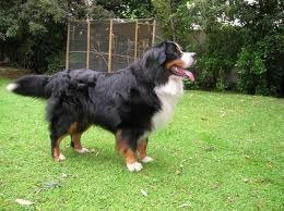perros pastor de berna - Buscar con Google