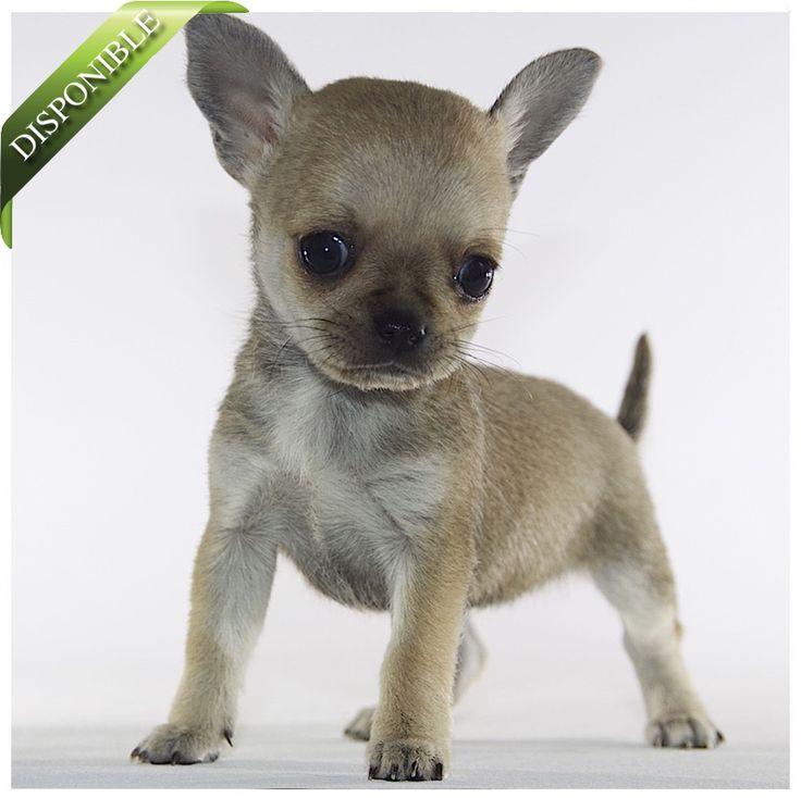 Chihuahuas en venta : CLAUDIA