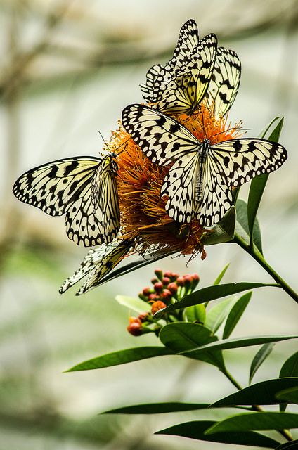Idea leuconoe Butterflies