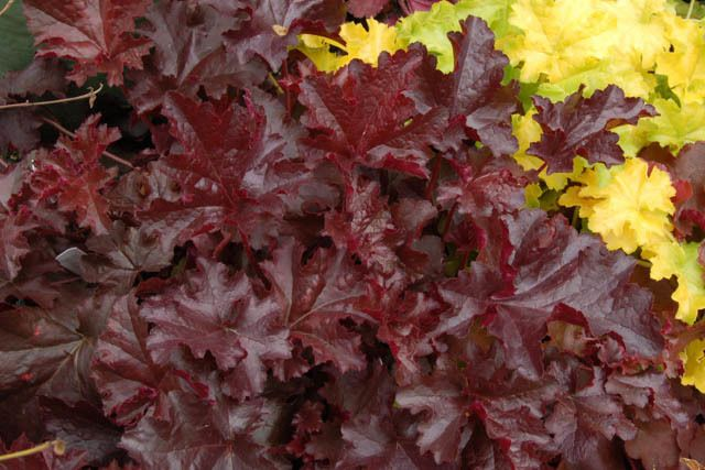 3: Heuchera Chocolate Ruffles