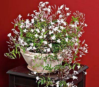 40 best images about jasmine arrangement jazmin on for Easy large house plants