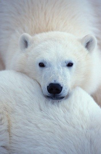 A portrait of a polar bear in Churchill, Canada. (KiRaidesu: He looked bored XD).