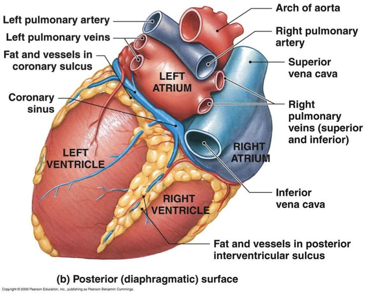 Posterior heart anatomy diagram wiring diagram database 16 best heart images on pinterest anatomy anatomy reference and rh pinterest co uk heart circulation anatomy physiology blank heart diagram for labeling ccuart Images