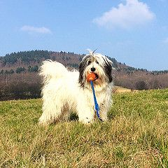Cally (Lutz IGIEL lugfoto.net) Tags: dog dogs tiere hessen sheepdog hund deu hunde pon htehunde polishlowlandsheepdog htehund poliskiowczareknizinny