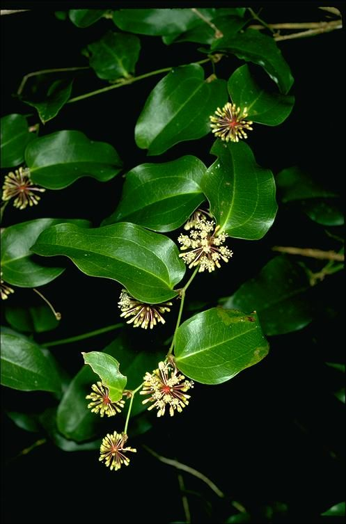 Smilax australis (sarsaparilla) - native
