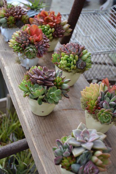 Pequenos jardins de suculentas coloridas.